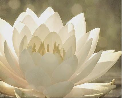 Loto blanco Yo amo meditar